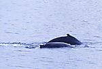 Buckelwale im Kattfjorden, Megaptera novaeangliae