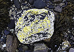 Stein mit Seepocken, Balanus sp.