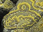 Flechten auf Basalt