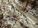 Lummenfelsen auf Helgoland, Uria aalge