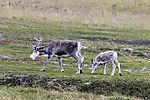 Reindeer with calf, Rangifer tarandus