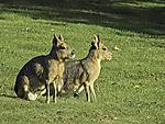 Patagonian Cavys, Dolichotis patagonum