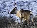 Reindeer, Rangifer tarandus