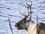 Reindeer portrait, Rangifer tarandus