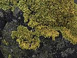 Gewöhnliche Gelbflechte auf Basalt, Xanthoria parietane