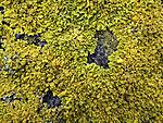 Gewöhnliche Gelbflechte, Xanthoria parietane