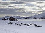 Reindeer herd in snow, Rangifer tarnadus