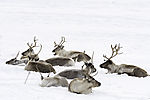 Reindeer herd in snow, Rangifer tarandus
