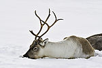 Reindeer in snow, Rangifer tarandus