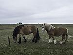 horses on island Hooge