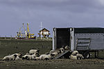 sheep on island Hooge