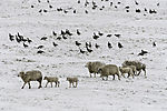 sheep and Brent Geese in snow, Branta bernicla