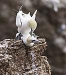 Baßtölpel Paarung im Sommer, Morus bassanus