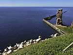 colony with Northern Gannets on island Helgoland, Morus bassanus