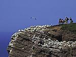 Touristen an Baßtölpelkolonie auf Helgoland, Morus bassana