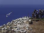 tourists at Gannet colony on island Helgoland, Morus bassana