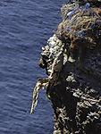 dead Gannet in fishery waste, Morus bassanus