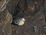 Eissturmvogel in Bruthöhle, Fulmarus glacialis