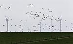 Gänse und Windräder