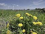 Dandelion and wind park, Taraxacum sp.