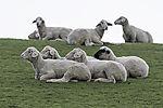 sheep resting on dike
