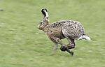 running Hare, Lepus europaeus
