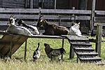 animals on old farm