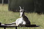 Goat on old farm