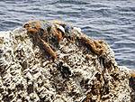dead birds in nets on birdcliff on island Helgoland
