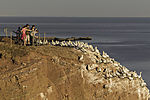 Touristen an Baßtölpelkolonie auf Helgoland, Morus bassanus