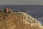 tourists at Gannet colony on island Helgoland, Morus bassanus