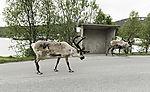 Reindeer on road, Rangifer tarandus