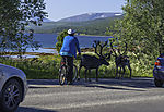 cyclist and Reindeer, Rangifer tarandus