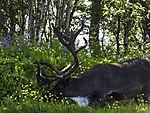 Reindeer eating, Rangifer tarandus