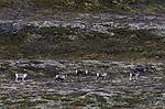 Reindeer on autumnal Saltfjell, Rangifer tarandus