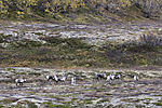 Rentiere im herbstlichen Saltfjell, Rangifer tarandus