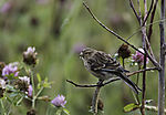 juvenile Common Redpoll looking for food, Acanthis flammea