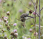 Zeisung bei Futtersuche, Carduelis spinus