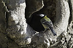 Kohlmeise an Baumhöhle, Parus amjor