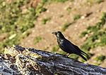 Rabenkrähe auf Helgoland, Corvus corone