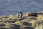 junge Baßtölpel auf Helgoland, Morus bassanus