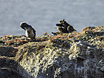 juvenile Northern Gannets on island Helgoland, Morus bassanus