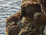 tote Baßtölpel im Vogekliff, Morus bassanus