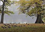 Gänse und Schwäne im Eichenpark, Anser anser, Cygnus olor