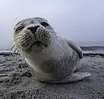 Harbour Seal on beach of Helgoland winkingly, Phoca vitulina