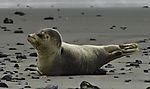 Harbour Seal on beach of Helgoland, Phoca vitulina