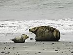 Seehund und Kegelrobbe am Strand von Helgoland, Phoca vitulina, Halichoerus grypus