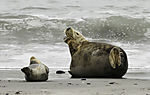 Harbour Seal and Grey Seal on beach of Helgoland, Phoca vitulina, Halichoerus grypus