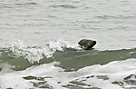 surfende Kegelrobbe auf Helgoland, Halichoerus grypus