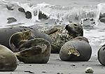 Kegelrobben am Strand der Helgoländer Dune, Halichoerus grypus
